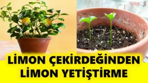 Birkaç Basit Adımla Evde Limon Çekirdeğinden Limon Yetiştirme