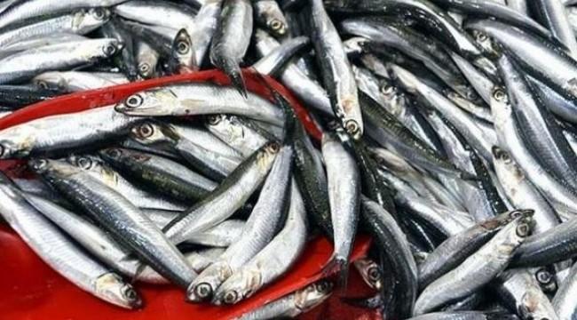 Karadeniz'de hamsi avı 10 gün yasaklandı
