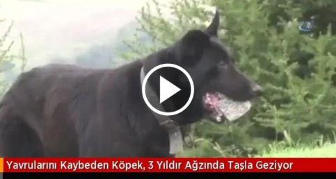 Yavrularını Kaybeden Köpek, 3 Yıldır Ağzında Taşla Geziyor